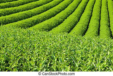 種植園, 茶