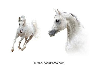 種馬, 肖像画, 長さ, フルである, アラビア人, コレクション