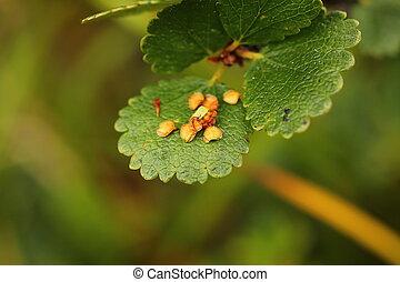 種, こびと, 葉, (betula, シラカバ, nana)