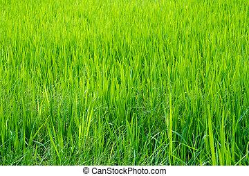 稻田, 草, 雜草水生植物