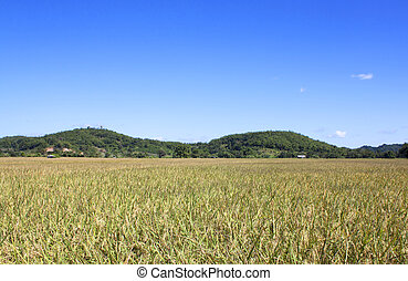 稻田, 黃色