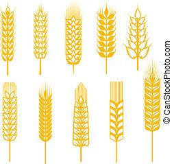 穀物, 耳朵