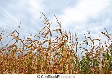 穀物, 高い