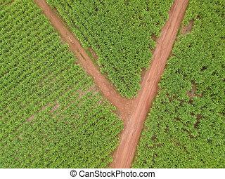 空中写真, の, 砂糖きび, field.