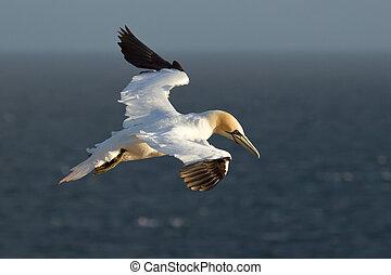 空, gannet