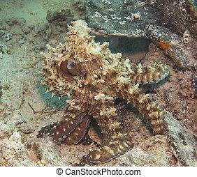 章魚, 上, a, 珊瑚礁