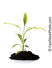 竹子, 在, the, 土壤