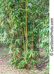 竹, アジア人