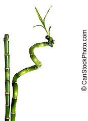竹, 隔離された