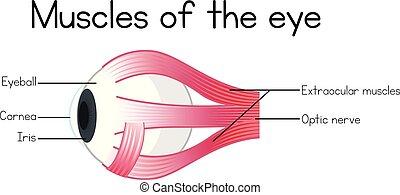 筋肉, 目, 人間