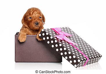 箱, ミニチュア, 子犬, プードル, 贈り物