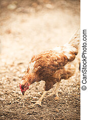 範圍, 母雞, 自由