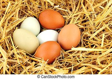 範圍, 母雞, 蛋, 自由