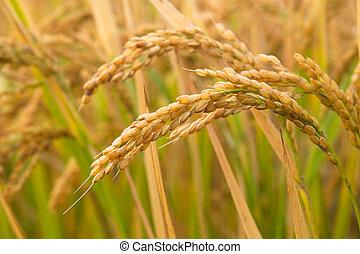 米の 水田