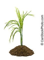 米, 在, 土壤