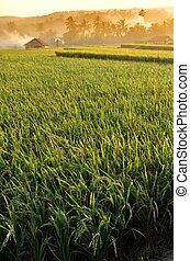 米, 風景, 農業フィールド