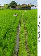米, fields., 農夫