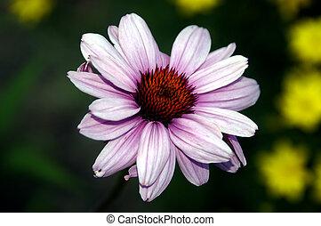 粉紅色, 向日葵