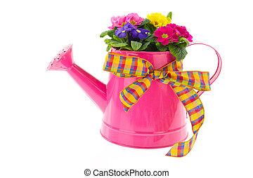粉紅色, 噴壺, 由于, 鮮艷, 報春花