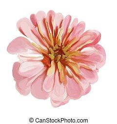 粉紅色, 百日草, 被隔离, 在懷特上, 背景