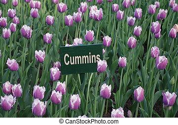 粉紅色, 郁金香, 在, 花, 領域, cummins