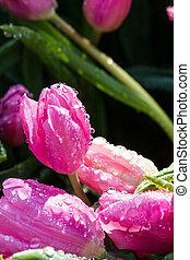 粉紅色, 郁金香
