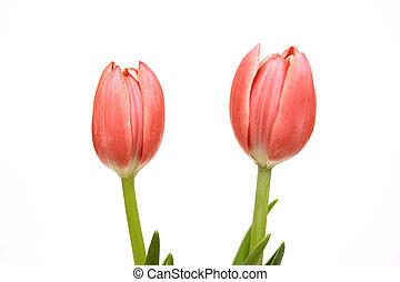 粉紅色, 鬱金香, 被隔离, 在懷特上