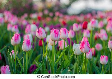 粉紅色, 鬱金香, 領域