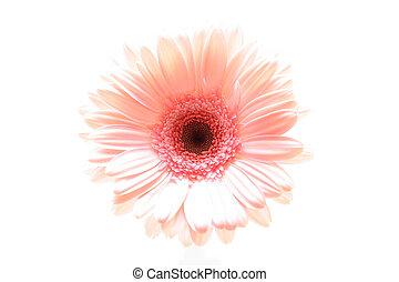 粉紅色, highkey, 雛菊