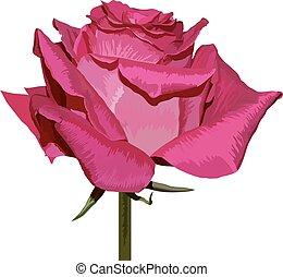 粉紅色, Ros, 白色, 被隔离, 背景