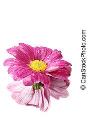 粉紅雛菊, 由于, 它是, 反映