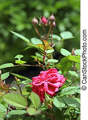粉红升高, 在花园