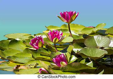 粉红色, 形象, waterlilies, 背景, 池塘, .flowers