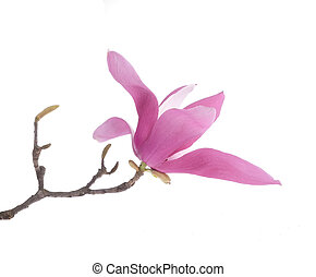 粉红色, 木兰, 花, 隔离, 在怀特上, 背景