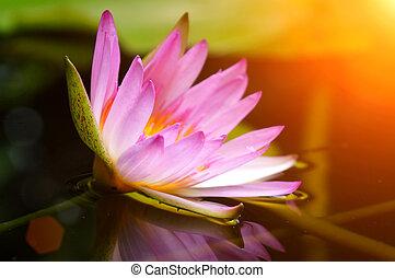 粉红色, 水百合花, pond., 反映
