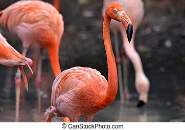 粉红色, 火烈鸟, 湖