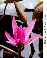 粉红花, flower., 莲, 符号, religion., 水, 重要, 佛, 百合花