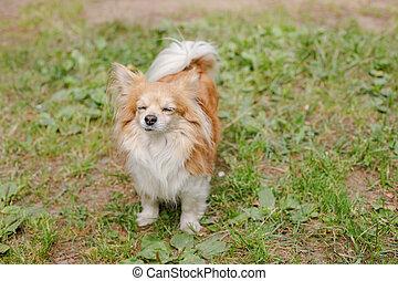 精力的, 日当たりが良い, 草, 夏, 関係, 調和した, 庭, 暑い, かわいい, chihuahua, 歩くこと, dog:, 若い, 犬, 教育, わずかしか, 休む, day., meadow., 微笑, training.