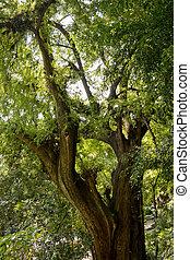 糸杉の木, montezuma