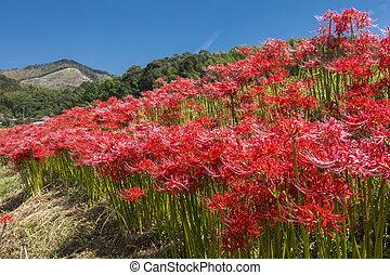 紅的花, 殖民地
