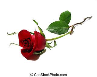 紅色的玫瑰, 白色 背景