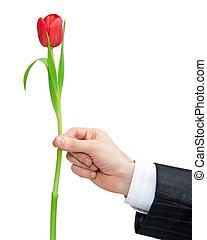 紅色的郁金香