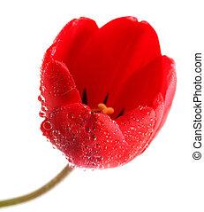 紅色的郁金香, 由于, 水 下落