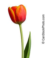 紅色, -, 桔子鬱金香