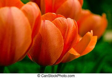 紅色, 桔子鬱金香