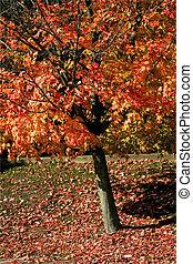 紅色, 秋天, 樹