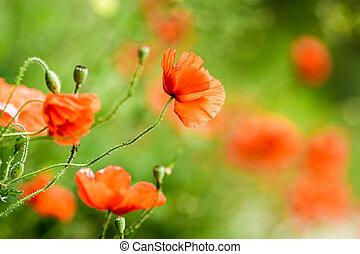 紅色, 罌粟, 在, 夏天