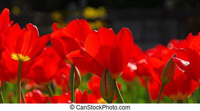 紅色, 鬱金香