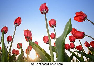 紅色, 鬱金香, 針對, 藍色的天空