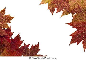 紅葉, 赤いカエデ
